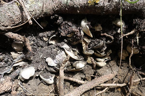 Midden site in Moreton Bay